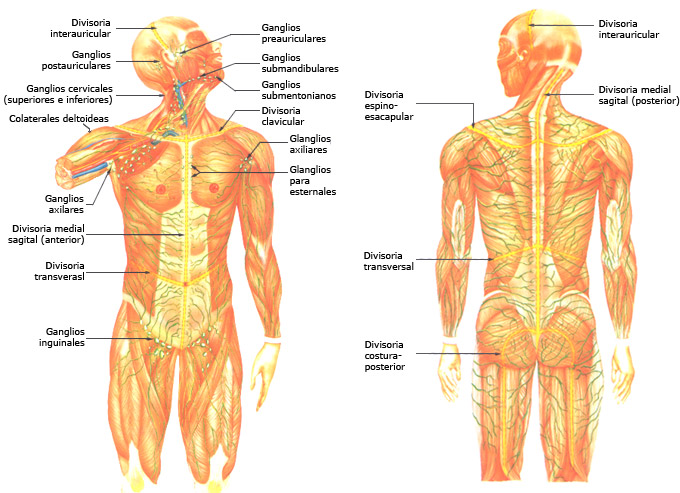 Drenaje linfático - Bruno Balaguer - Centro de osteopatía y masajes